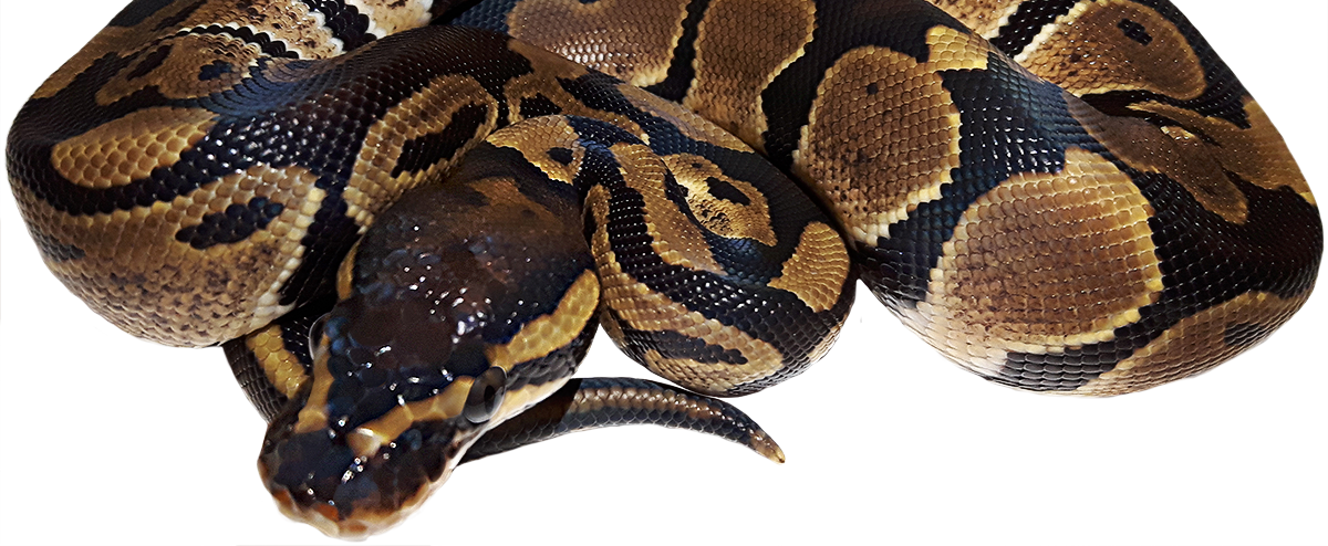 Gemini Pythons - A Canadian Ball Python Breeder