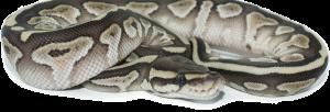 Gemini Pythons - Ball Python breeders in British Columbia, Canada