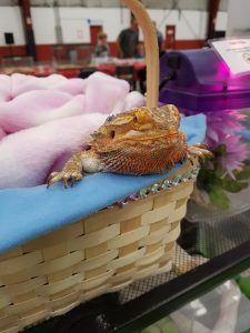 WSPCR's adorable bearded dragon!