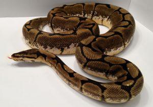 Spider ball python