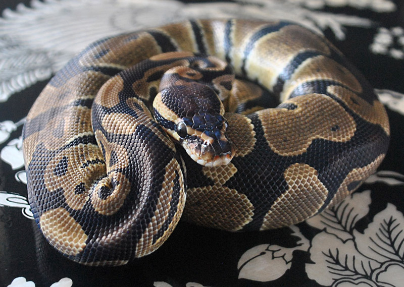 Pet snake ball python for sale in Metro Vancouver