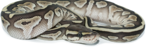 Gemini Pythons - Ball Python breeders in British Columbia, Canada