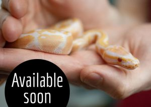 Lavender albino ball python available soon