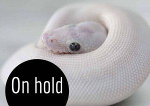 Blue eyed leucistic ball python hatchling