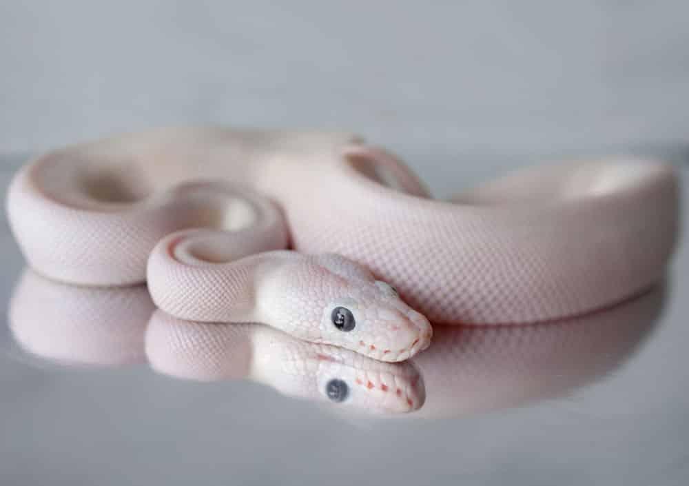 Blue eyed leucistic ball python baby for sale