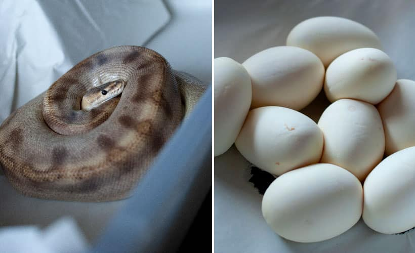 Champagne ball python on eggs