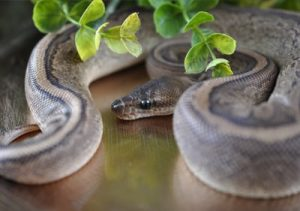 Pinstipe ball python
