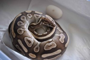 Mojave ball python on eggs