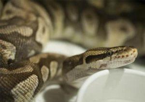 Enchi Mojave Pastel ball python