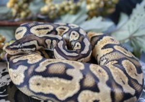 Pastel Yellowbellow or Gravel ball python
