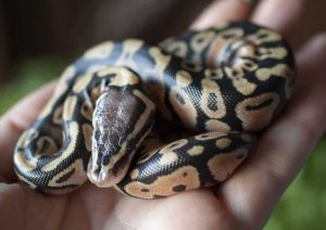 Baby Pastel Ball Pythons for sale in Canada
