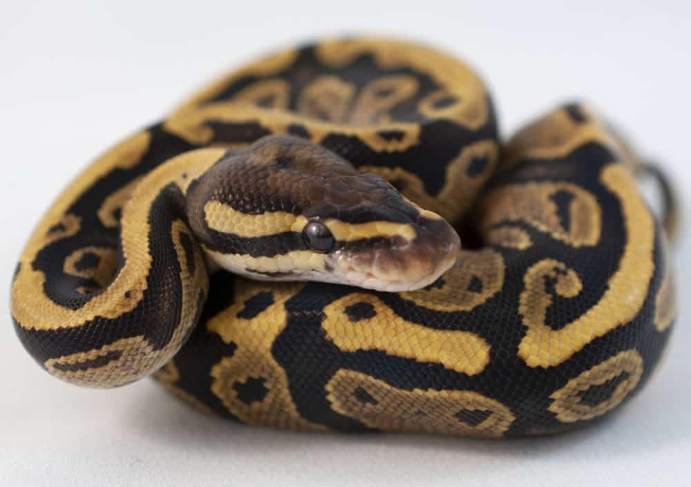 Fire pet ball python for sale