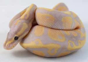 Coral Glow Fire ball python