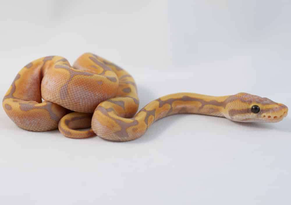 Coral Glow Woma ball python