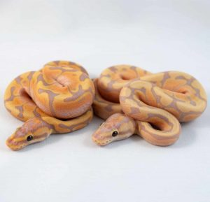A comparison of Coral Glow Woma and Coral Glow Fire Woma ball pythons