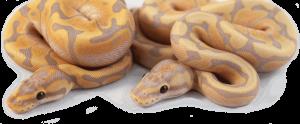 Ball Python breeder in British Columbia, Canada