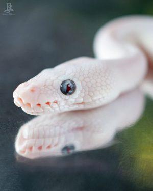 Blue Eyed Leucistic face closeup