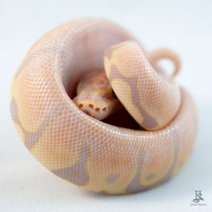 Coral Glow Fire Woma ball python
