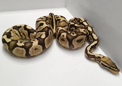 M.C. Hisser the Firefly ball python