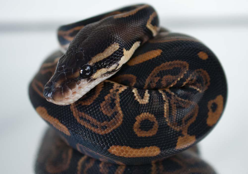 Black Pastel het Albino ball python