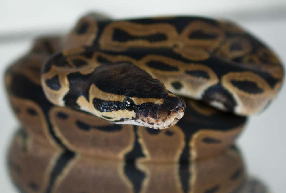 het Albino dinker ball python