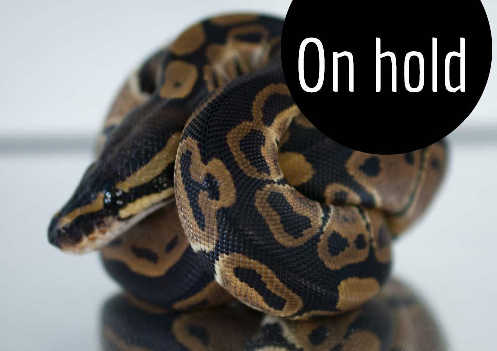 het Albino ball python for sale