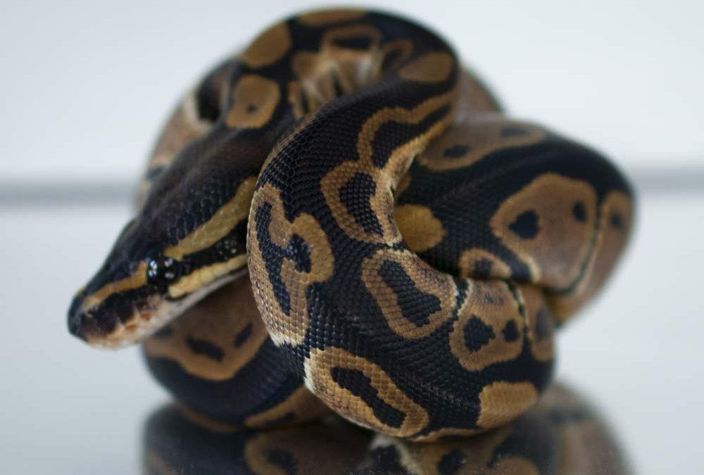 het Albino ball pythons for sale