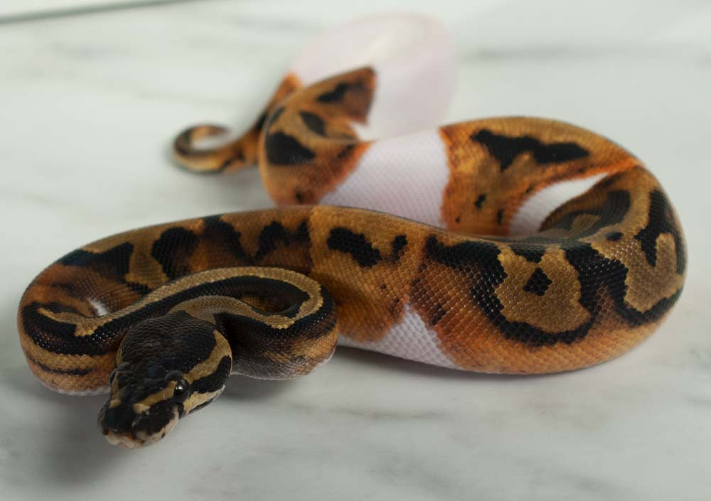 Pied Piebalf ball python for sale in Canada