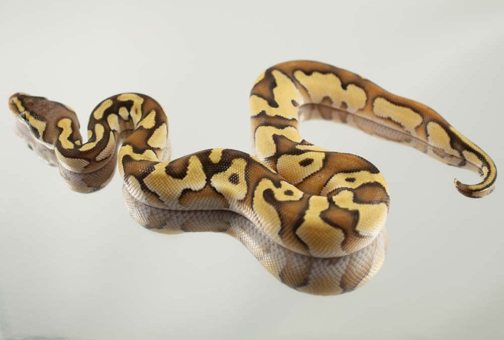 Super Pastel Enchi Ball Python