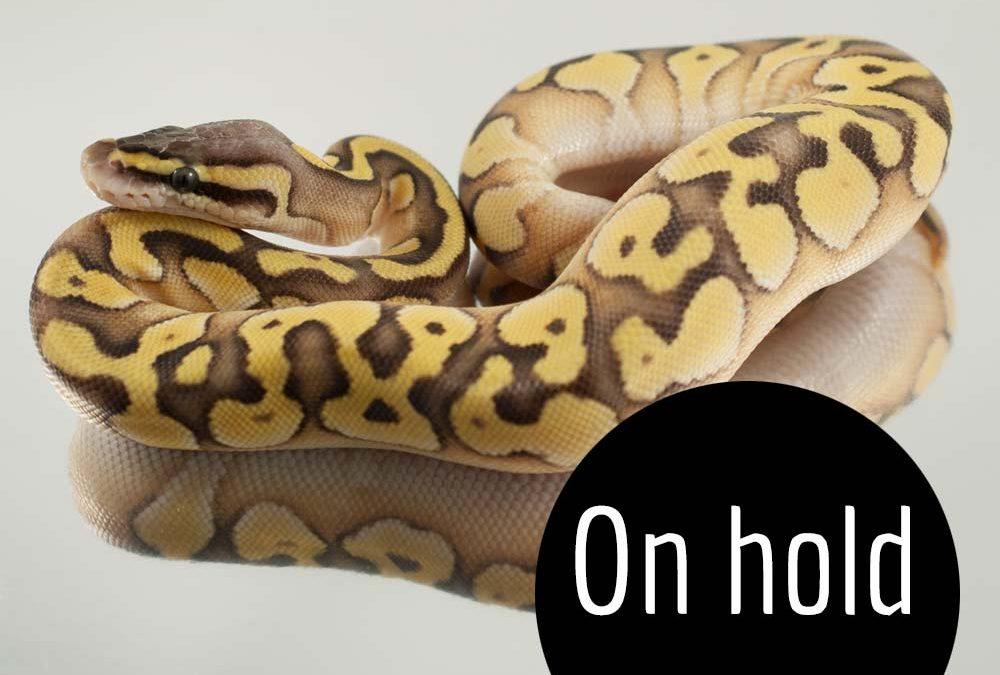 Super Pastel Enchi Mojave ball python
